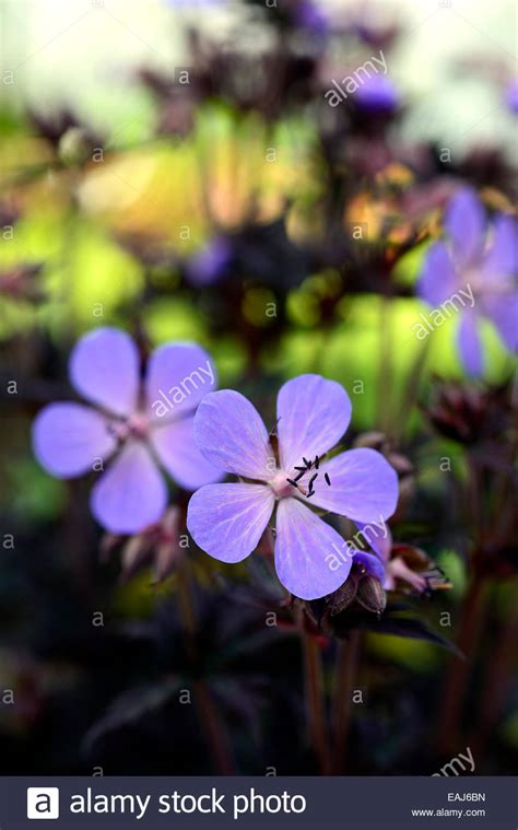 geranium pratense midnight reiter blue flower flowering