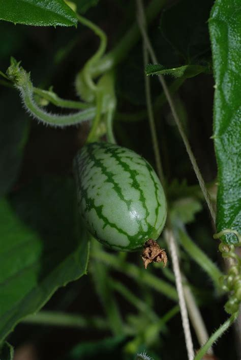 Cucamelon Plant Info - Tips For Growing Mexican Sour