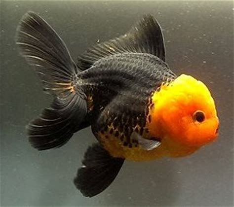 All About Goldfish Archives - Mr